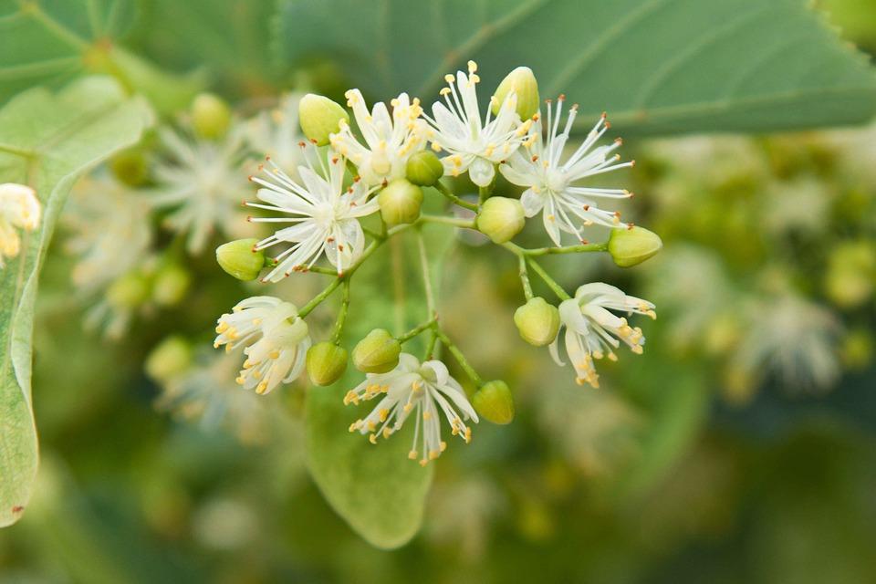 Linden, Greens, Branch, Basswood, Tree