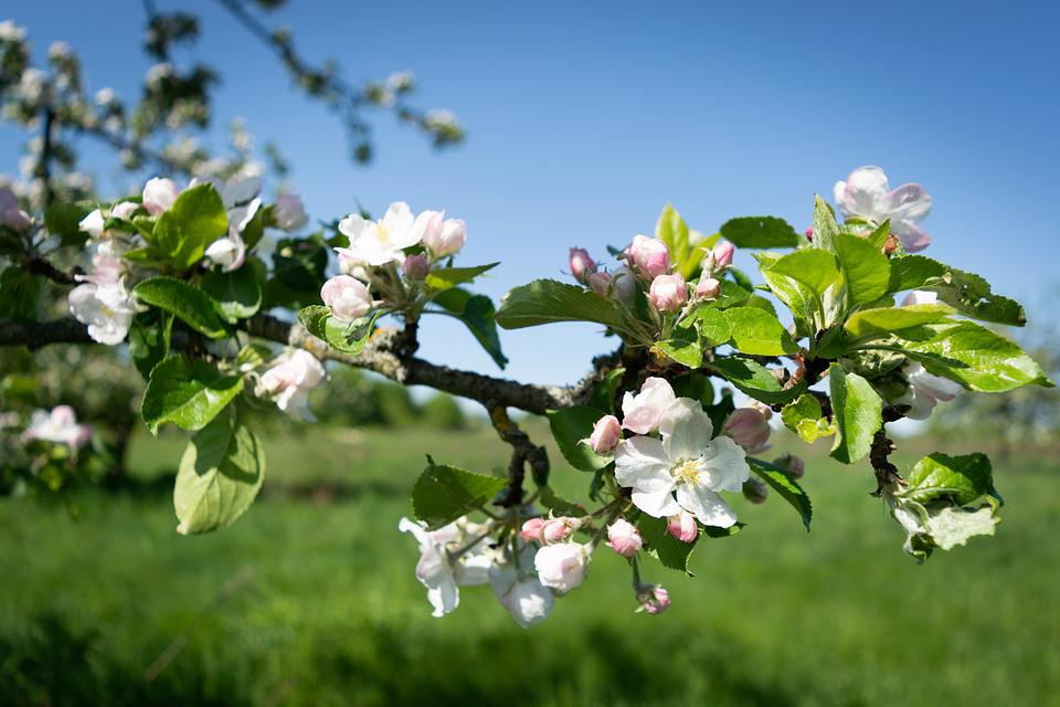 Apple, Tree, Blossom, Bloom, Fruit, Branch, Nature