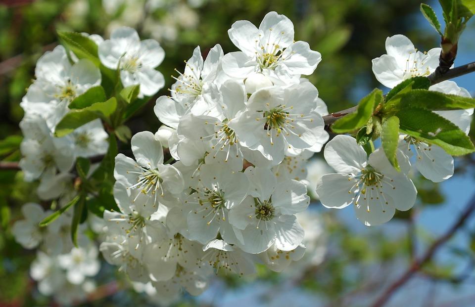 Fruit Tree, Obstblueten, Flower, Tree, Plant, Branch