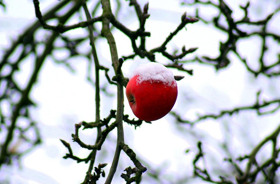 Tree, January, Winter, Apple, Snow, Cold, Branch, Sad