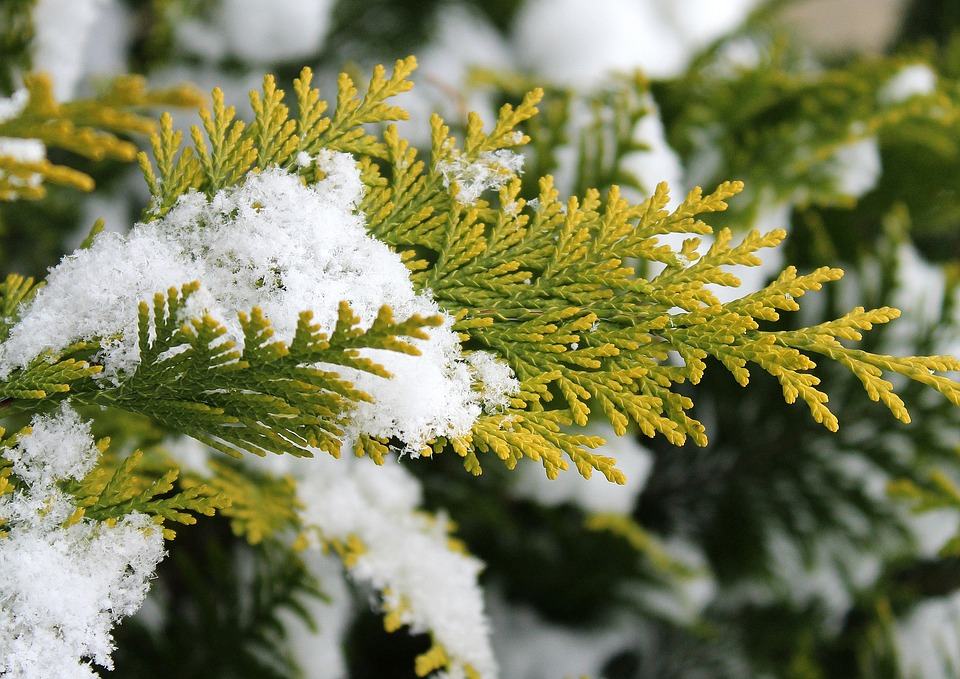 Thuja, Tree, Season, Winter, Snow, Branch, Nature