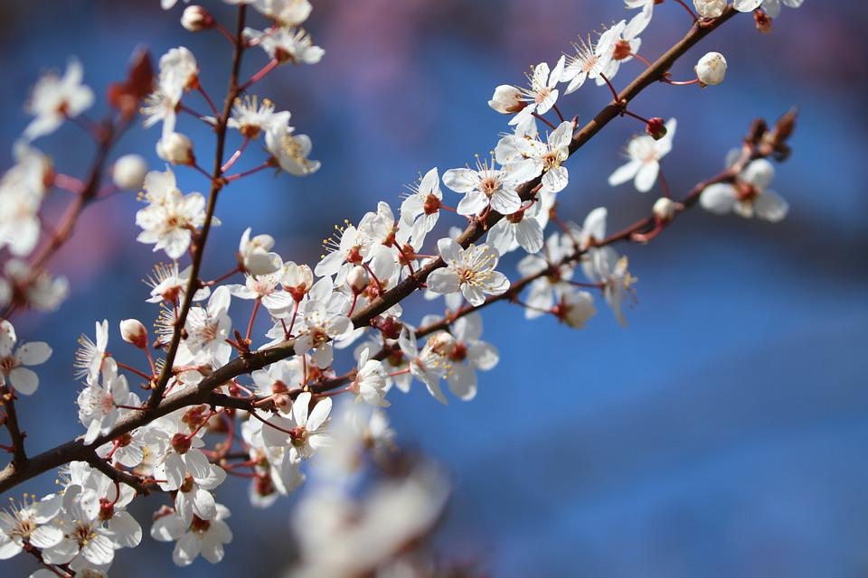 Blackthorn, Flowers, Buds, Branch, White Flowers