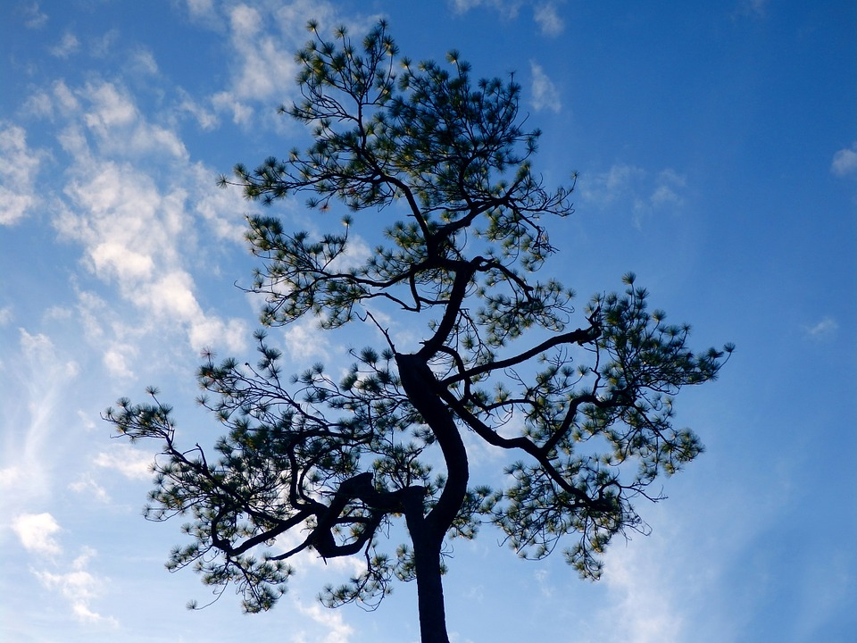 Pine, Tree, Blue, Sky, Winter, Nature, Branch, Country