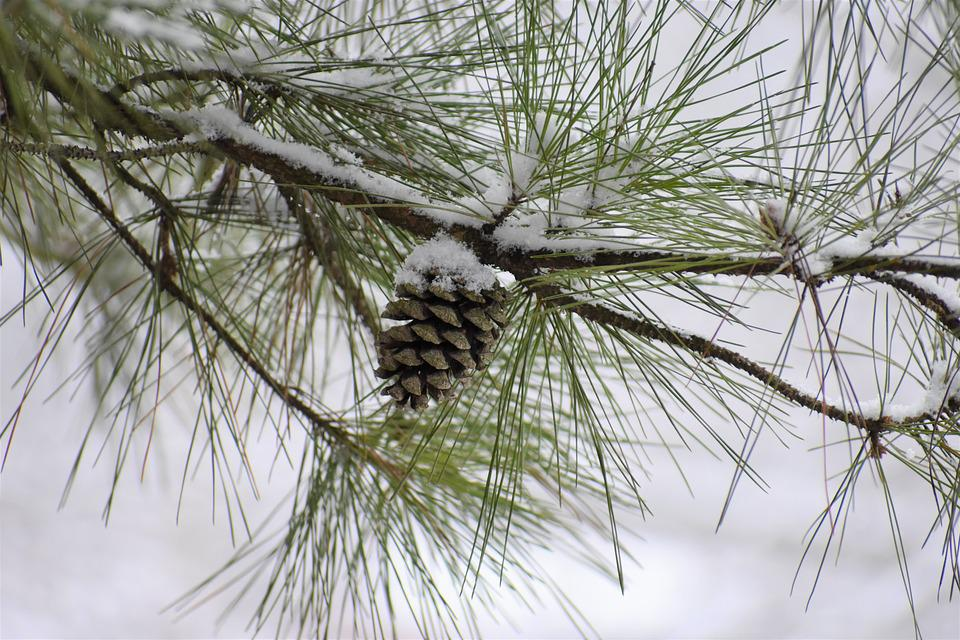 Pine, Needle, Winter, Tree, Branch