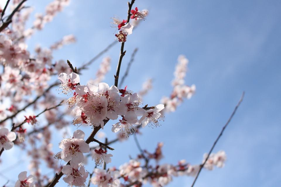 Cherry, Branch, Wood, Blue Sky