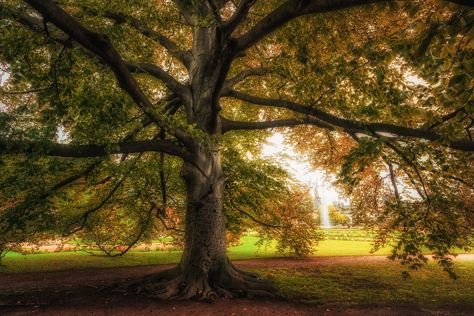 Tree, Beech, Tree Trunk, Branches, Park, Old Tree