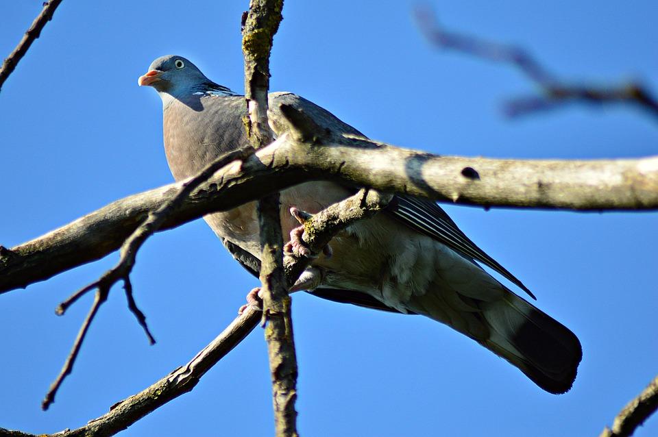 Pigeon, örvösgalamb, Bird, Branches