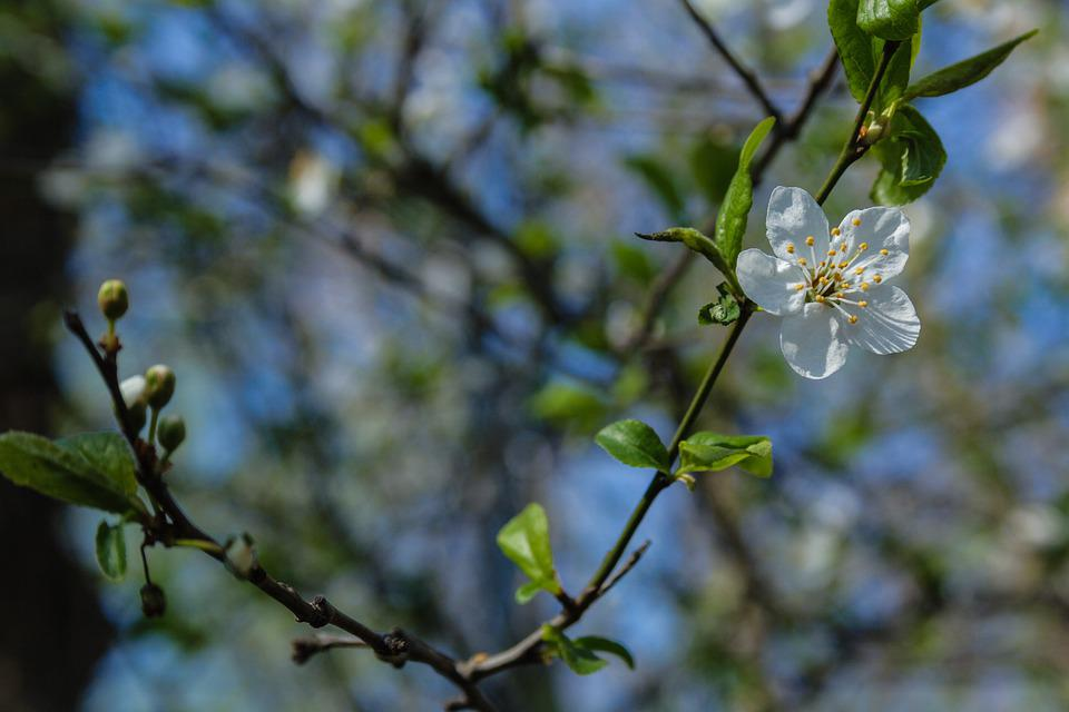 Blossom, Flower, Bloom, Branches, Twigs, Leaves, Tree
