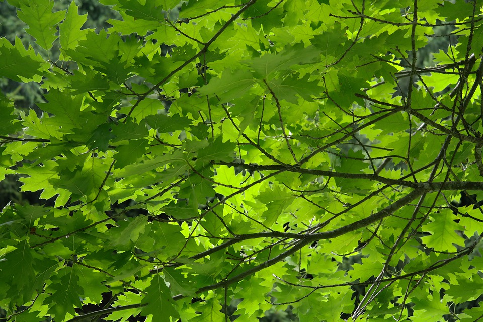 Leaves, Tree, Aesthetic, Branches, Green, Red Oak