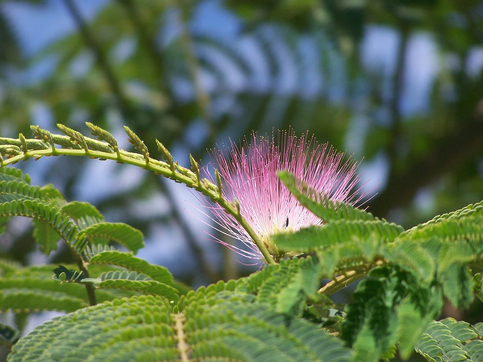 Silk Tree, Pink, Flowers, Leaves, Stamen, Branches
