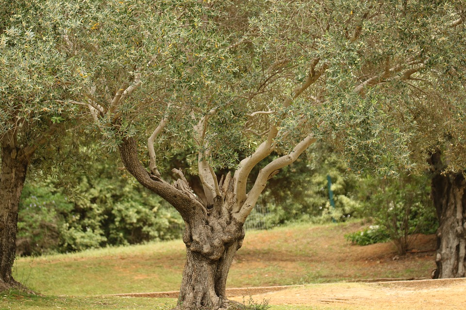 Tree, Olive Tree, Park, Mediterranean, Branches, Leaves