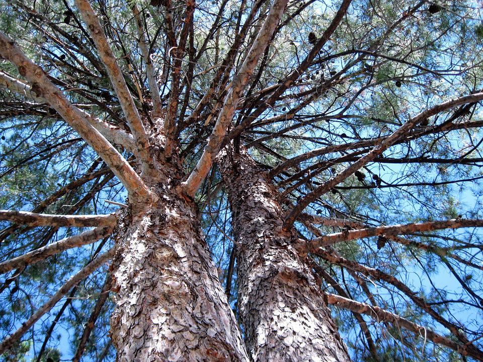 Pine, Tree, Branches, Nature, Outdoor, Trunk, Bark