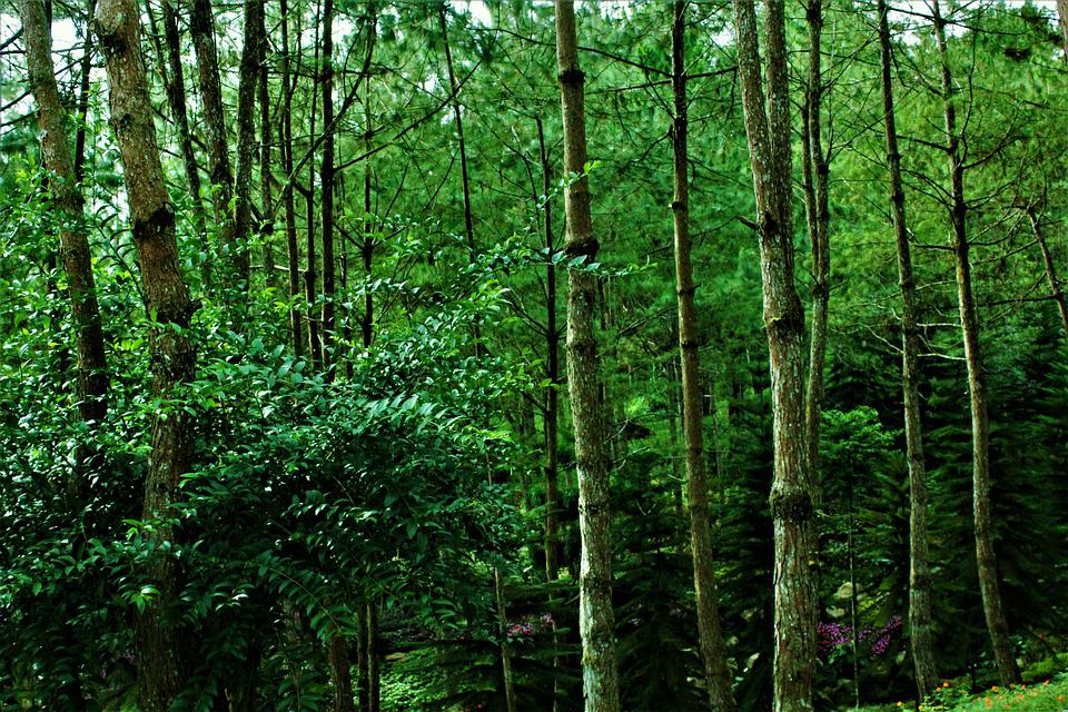 Forest, Nature, Pine Trees, Trees, Leaves, Branches