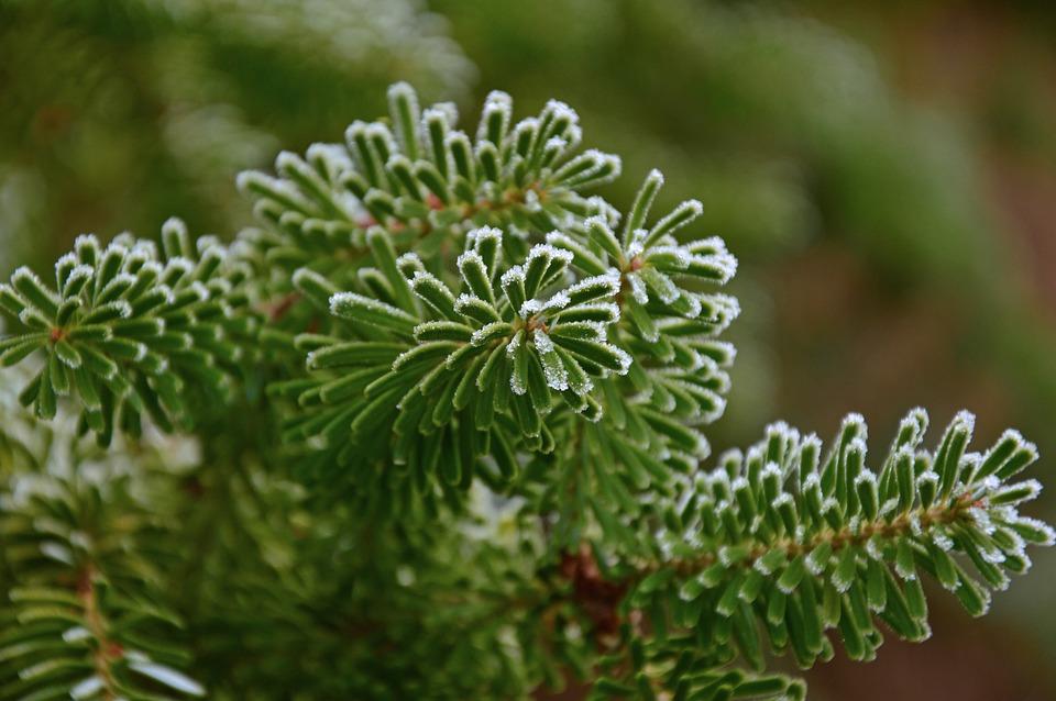 Fir Tree, Tannenzweig, Fir Green, Needles, Branches