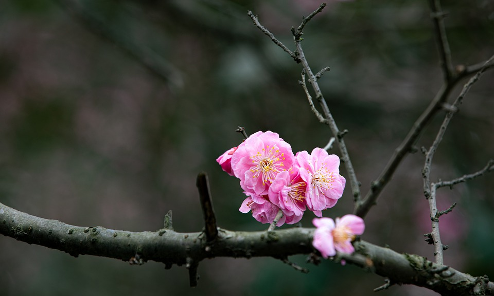 Peach Blossoms, Branches, Pink Flowers, Flowers