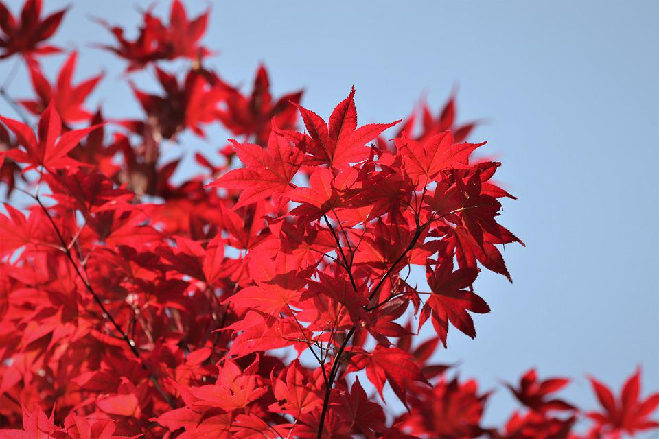 Tree, Red Leaves, Colorful, Blue Sky, Branches, Spring