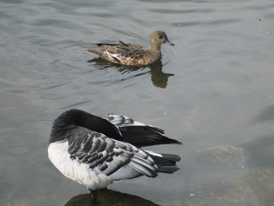 Branta Leucopsis, Barnacle Goose, Anas Penelope