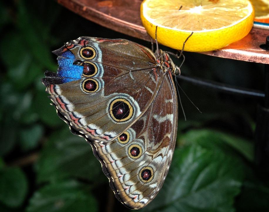 Caligo, Eurilochus, Butterfly, Brassolini, Mymphalid