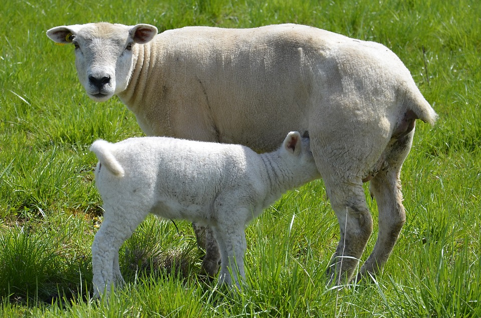 Sheep, Lamb, Breastfeeding, Agriculture, Livestock