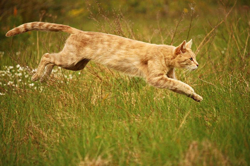 Cat, Jump, Mieze, Kitten, Breed Cat, Tiger Cat
