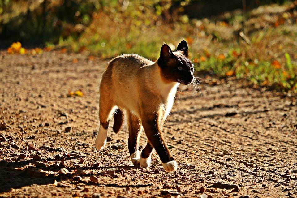 Cat, Mieze, Siam, Breed Cat, Siamese, Siamese Cat