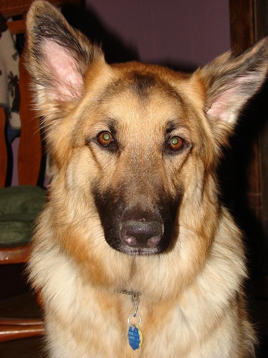 German Shepherd, Dog, Pet, Animal, Canine, Breed