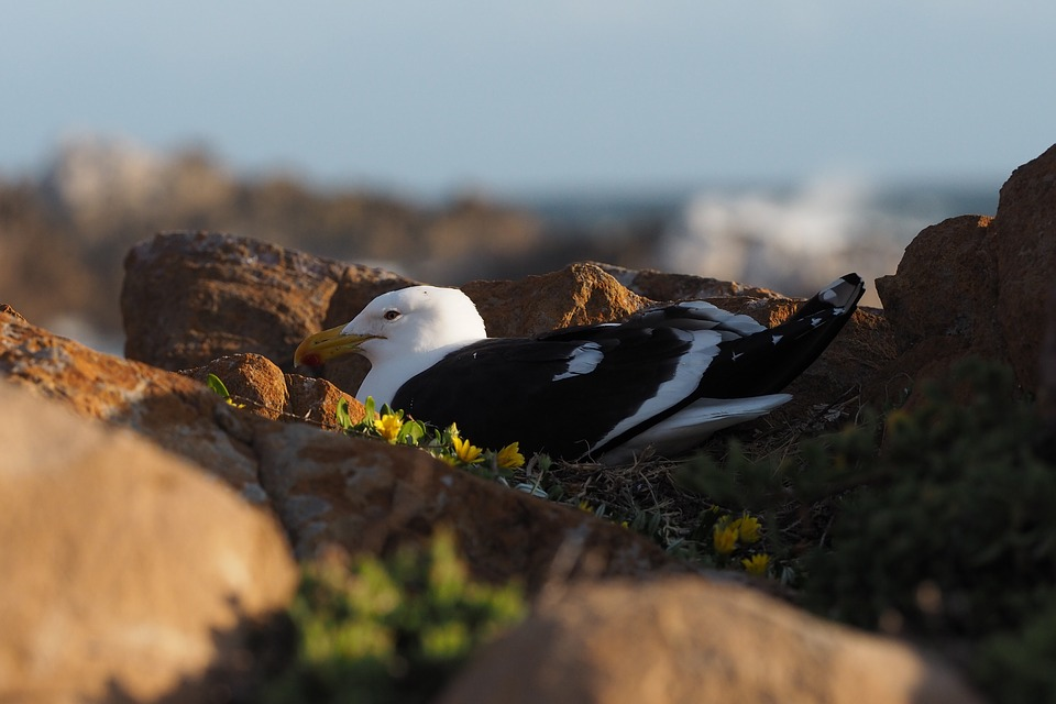 Gull, Hatching, Breed, Coast, Rock, Nest, Plumage