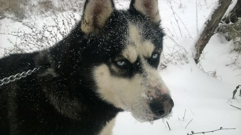 Husky, Dog, Animal, Pet, Cute, Siberian, Breed, Fun