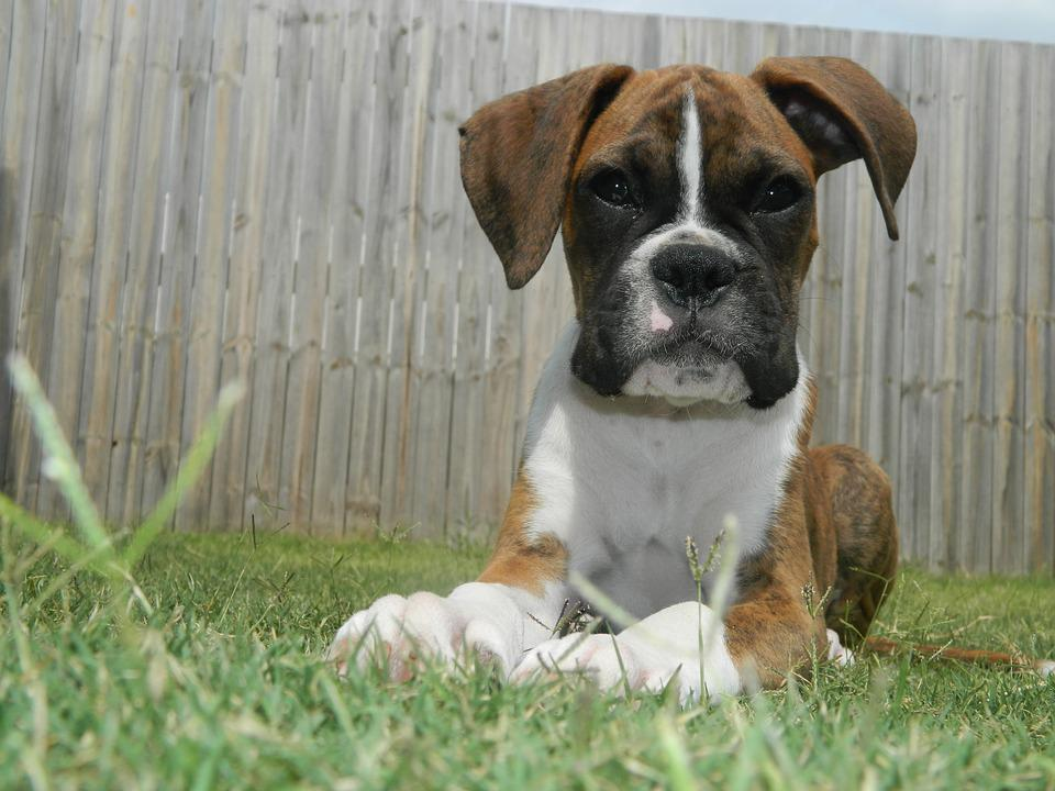 Puppy, Boxer, Dog, Pet, Animal, Cute, Breed, Boxer Dog