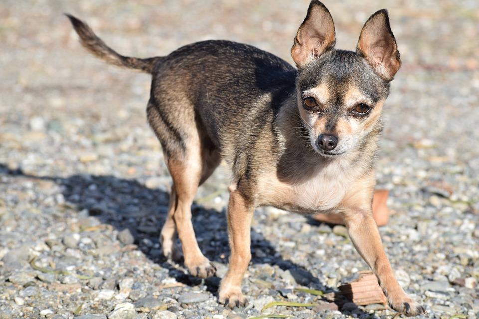 Dog, Breed, Small, Purebred, Chihuahua, Adorable, Cute