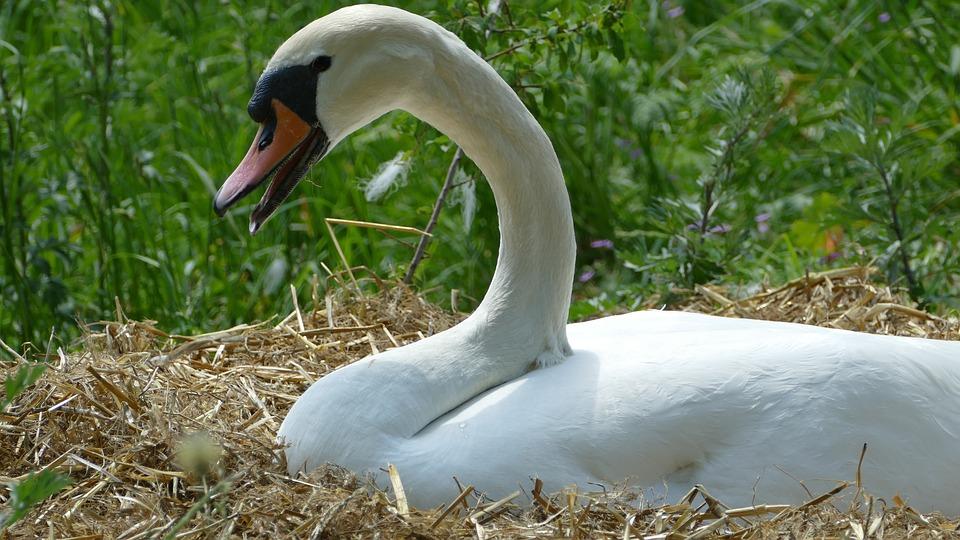 Swan, Breed, Swan's Nest, Nature, Waterfowl