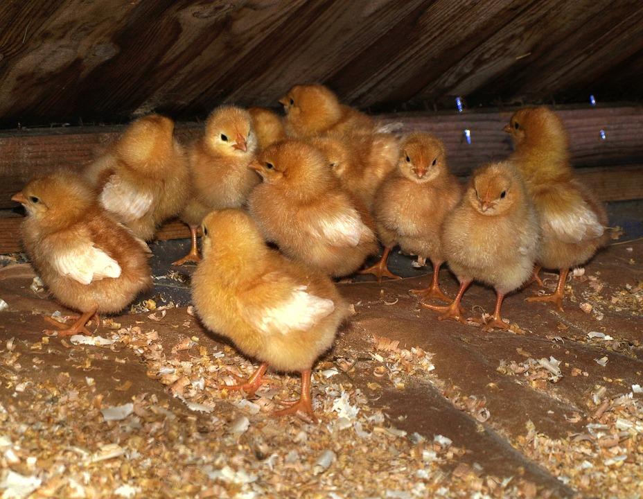 Animals, Chicks, Chicken, Eat, Breeding