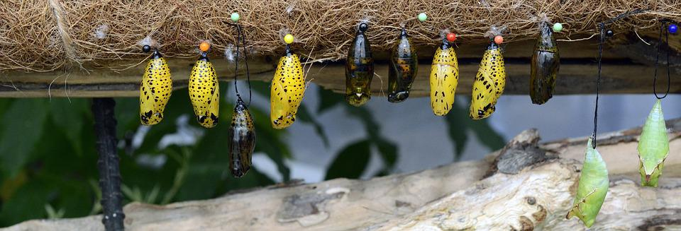 Track, Butterflies, Metamorphosis, Breeding, Hanging