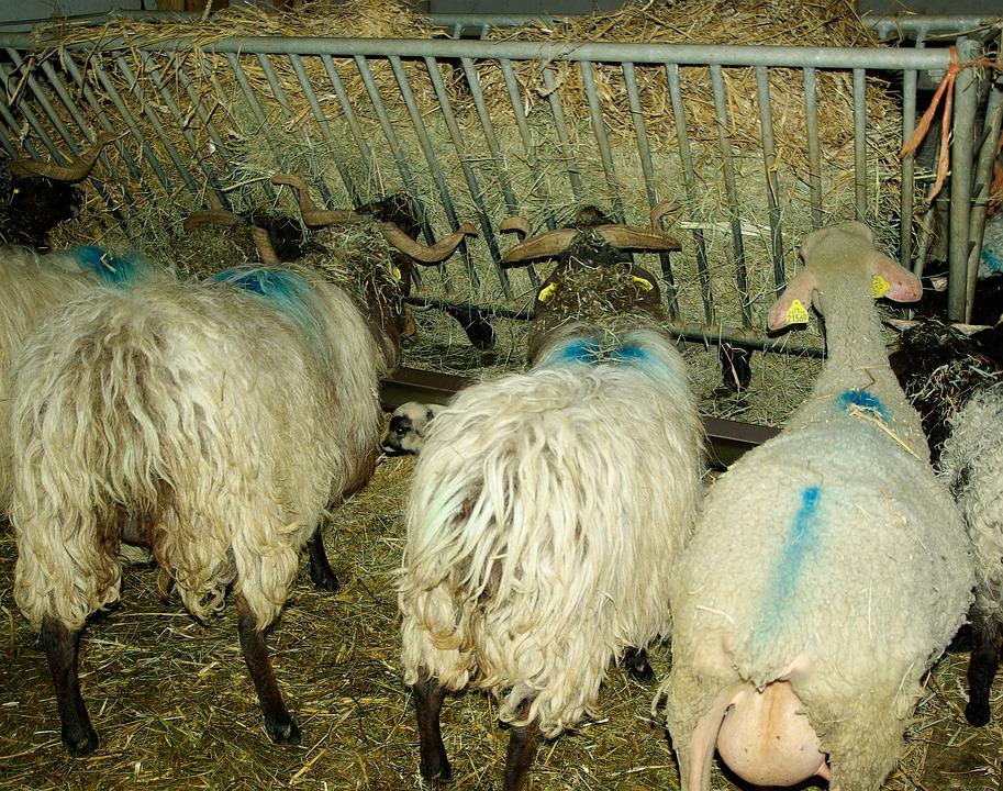 Sheep, Livestock, Breeding, Herd