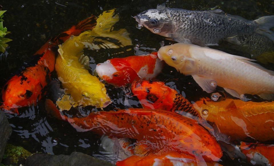 Free Photo Breeding Vivid Fish Koi Colored Carp Aquarium
