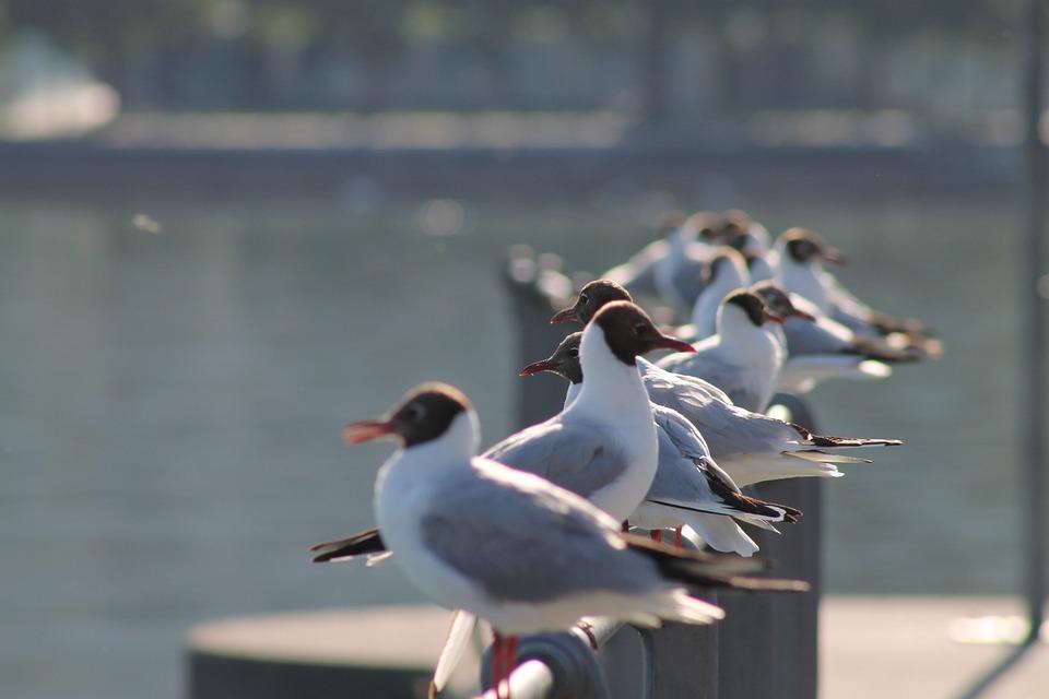 Lake, Lake Constance, Bregenz, Gull, Water