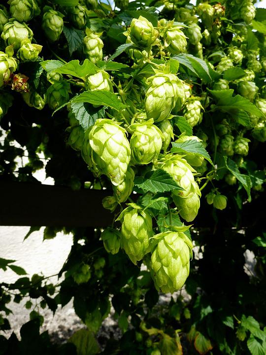Hops, Beer, Umbel, Brew, Hopfendolde, Hops Fruits