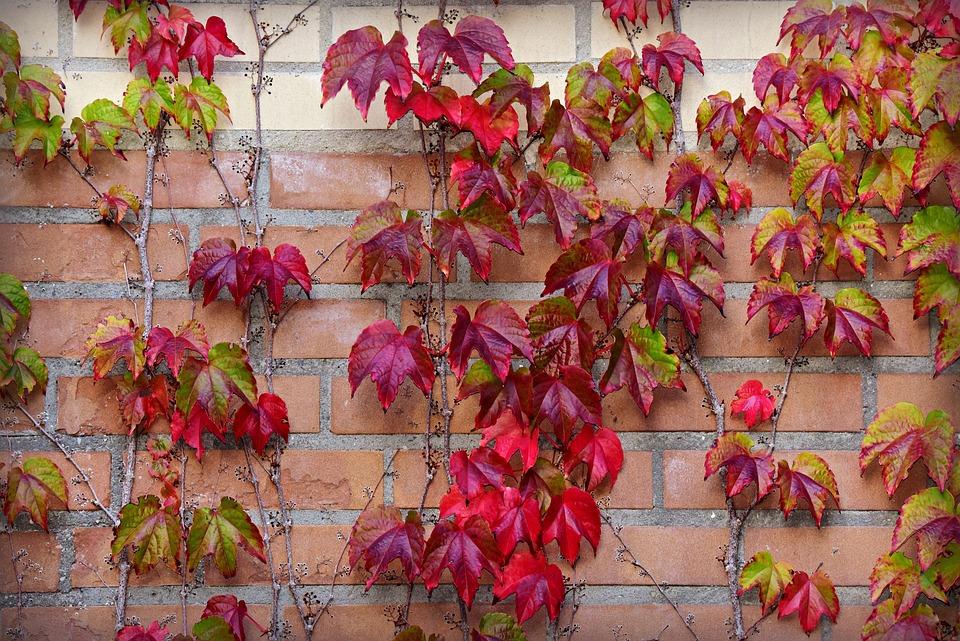 Ivy, Leaf, Autumn Color, Brick Wall, Growth, Decorative