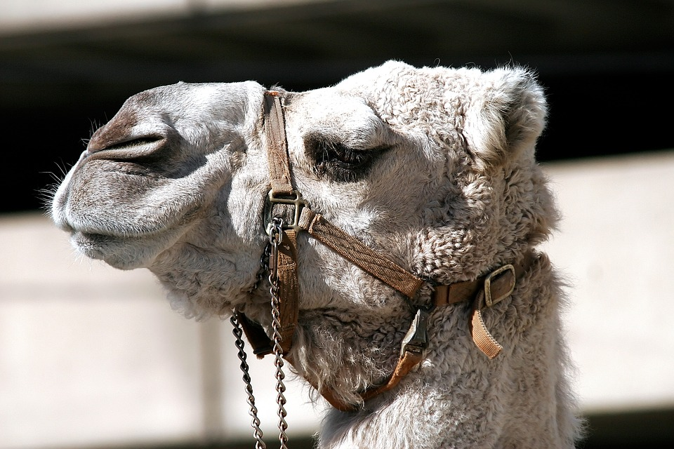 Camel, Bridle, Animal, Head, Mammal, Nose, Wildlife