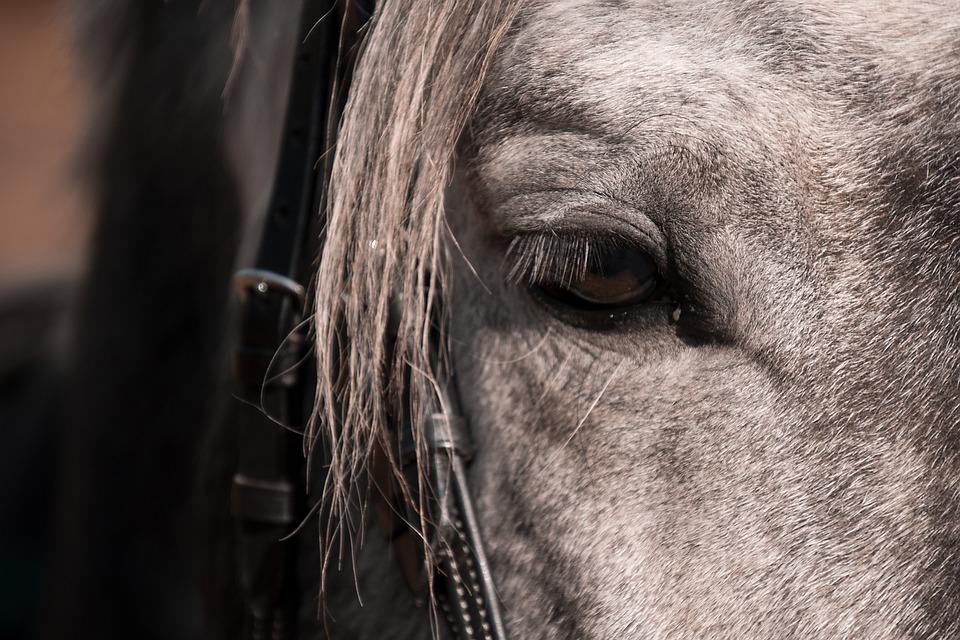 Horse, Mold, Animal, Ride, Eye, Mane, Fur, Bridle