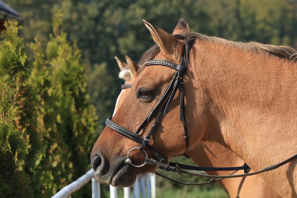 Horse, Head, Profile, Animal, Bridle, Horse Riding