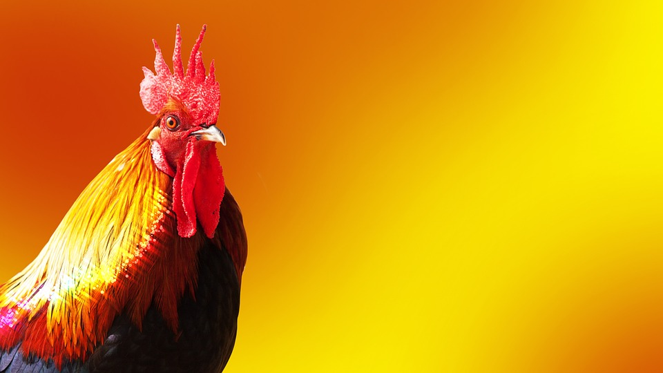 Cock, Year Of The Rooster, Bird, Animal, Bright