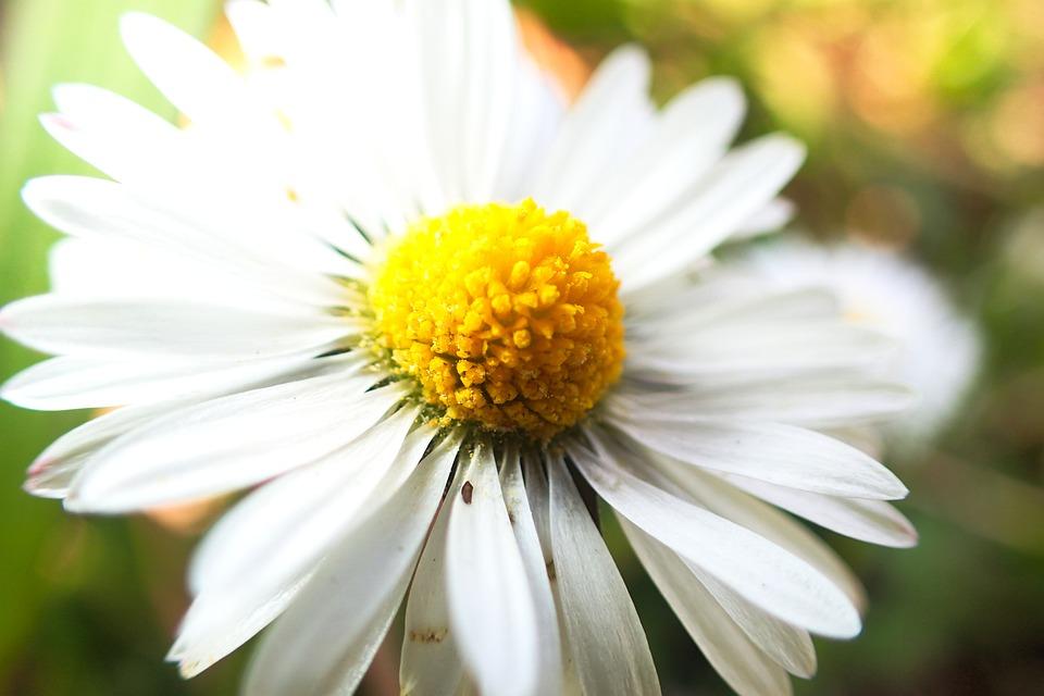 Daisy, Beautiful, Beauty, Bloom, Blossom, Bright