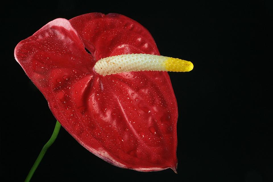 Anthurium, Red, Flora, Bright, Nature, Bloom, Colorful