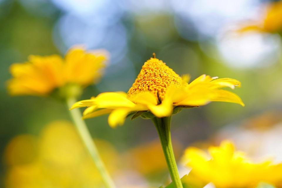 Flower, Daisy, Plant, Blossom, Bloom, Bright