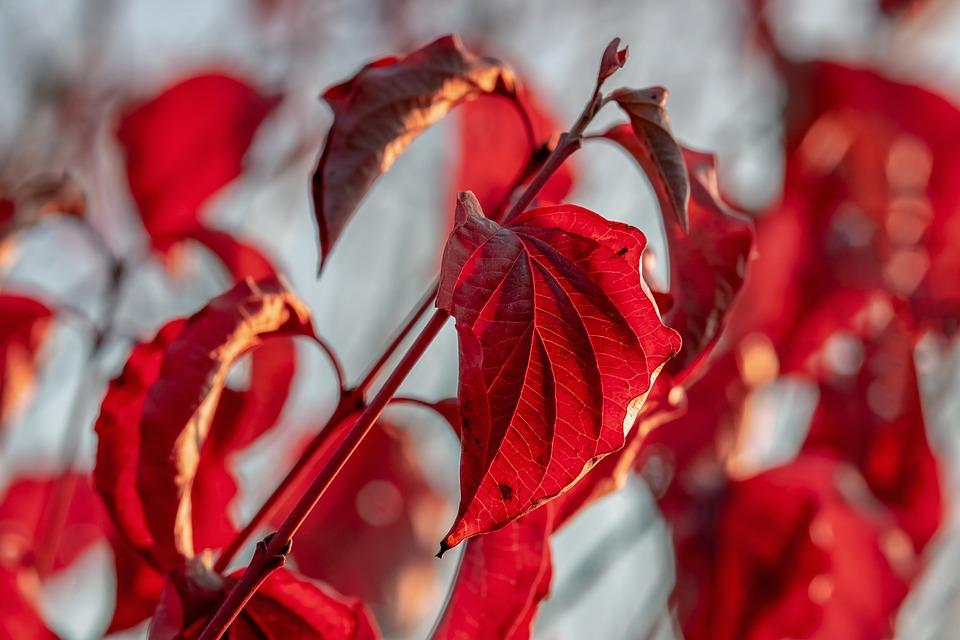 Leaves, Bush, Autumn, Fall Foliage, Leaf, Bright, Red