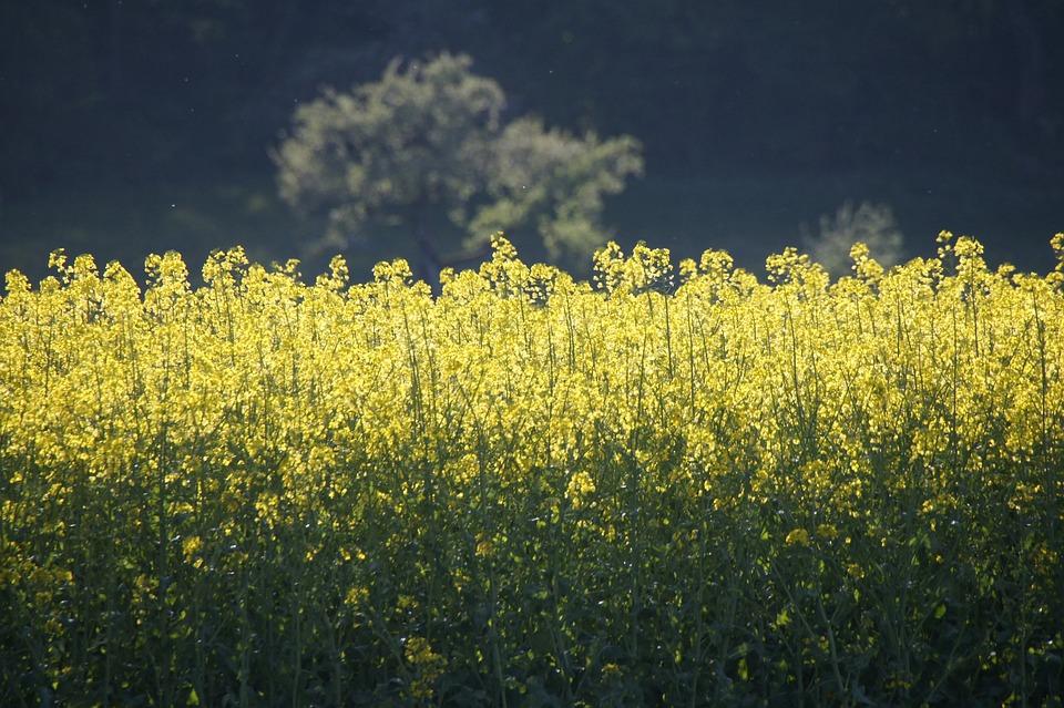 Field Of Rapeseeds, Yellow, Oilseed Rape, Bright