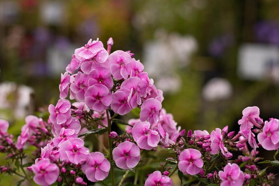 Phlox, Flame Flower, Flowers, Garden, Summer, Bright