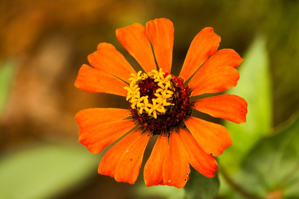 Zinnia, Orange, Petals, Flower, Bright Flower