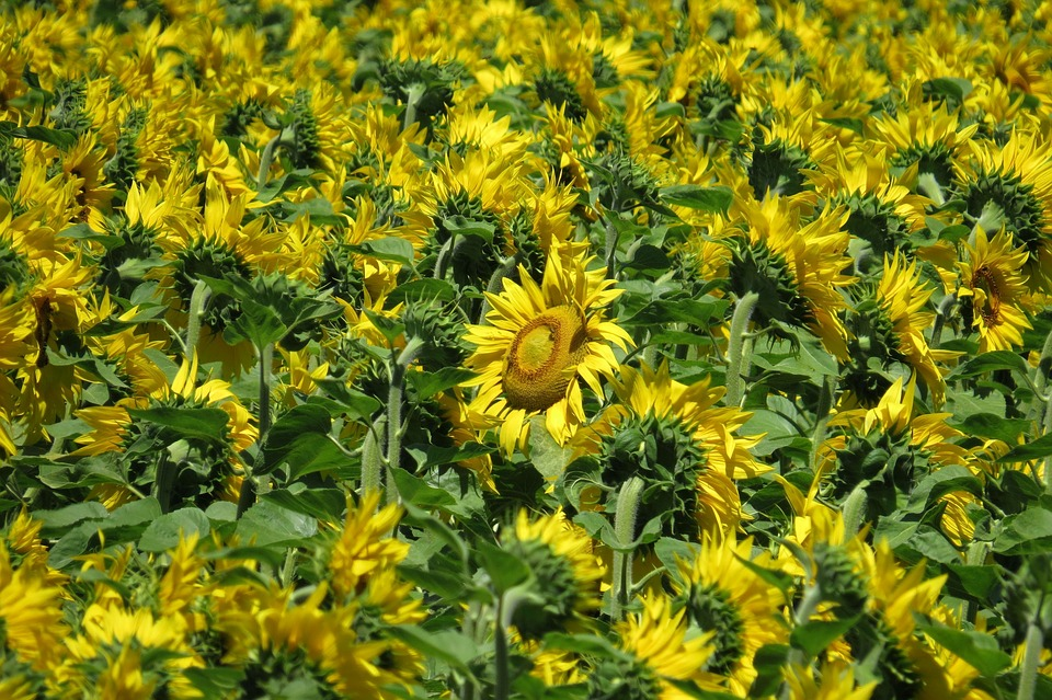 Sunflower Field, Sunflower, Bright, Flowers, Summer